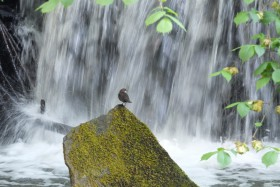 This beautiful shot of a Dipper was taken on Saturday lunchtime
