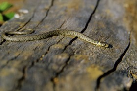 As spring turns into summer look out for reptiles basking in the sun. Copyright David Slater