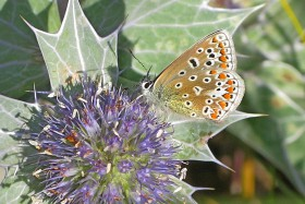 Common Blue on Sea Holly