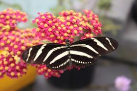 A butterfly in the pop-up butterfly garden