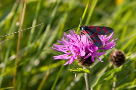 Six-spot burnet moth (Zygaena filipendulae) on Black Knapweed flower
