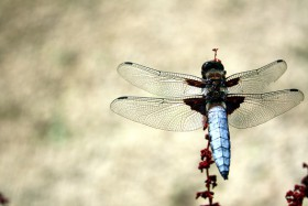 SMALL dragonfly